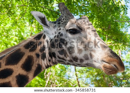 Low angle giraffe portrait  showing the head only