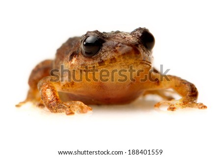 LOW ANGLE OF A BROWN FROG ISOLATED ON WHITE BACKGROUND  - stock photo