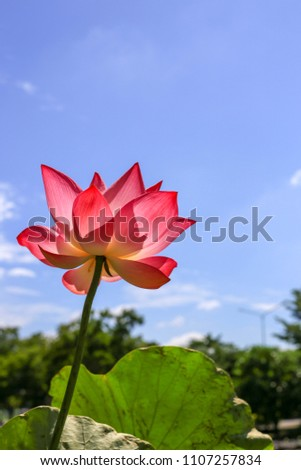 Low angle lotus flower indian lotus stock photo edit now low angle of lotus flower or indian lotus sacred lotus bean of india mightylinksfo