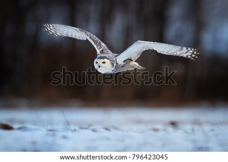 Low angle photo of flying beautiful Snowy owl Bubo scandiacus. Magic white owl with black spots and bright yellow eyes flying over meadow covered on snow against blurred birch forest. Winter time