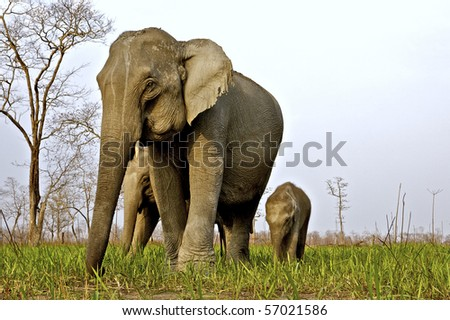 Low angle shot of a Female Asian elephant with her calves in Kaziranga national park - stock photo