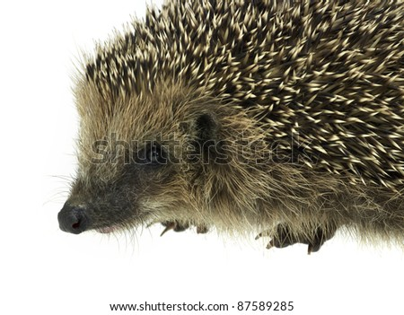 low angle sideways hedgehog portrait. Studio photography in white back