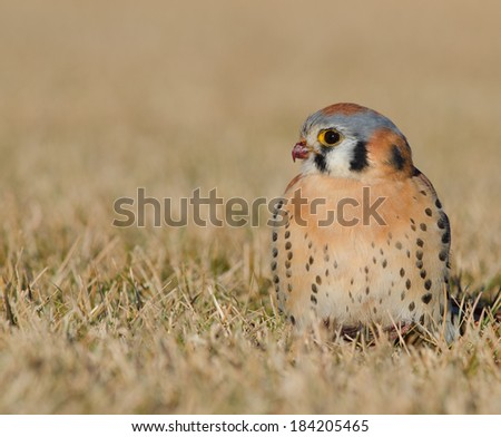 Low angle view of an American kestral in a grass field, Denver, Colorado