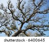 Low angle view of branches of live oak tree with blue sky in background. - stock photo