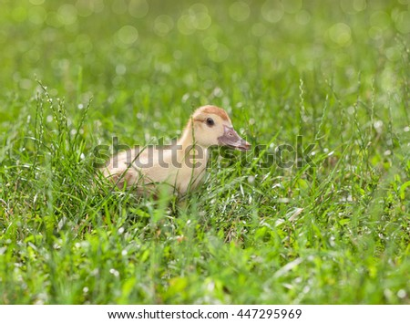 Low angle view of duckling hidden in green grass at sunny day