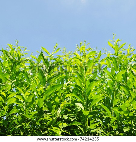 Low Angle View of Lush Green Plants Reaching up to a Vivid Blue Sky - stock photo