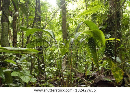Low angle view of the interior of primary tropical rainforest in Ecuador - stock photo