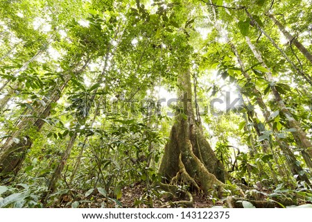 Low angle view of tropical rainforest with a large buttressed root tree, Ecuador - stock photo