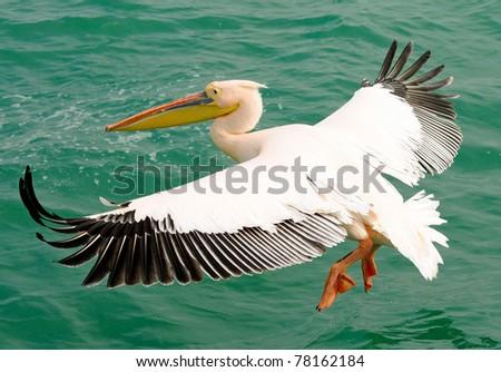 low-flying pelican - stock photo