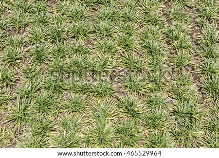 Low Growing Ornamental Grass Low growing ornamental grass clumps rounded stock photo royalty low growing ornamental grass clumps rounded tip blades top down view workwithnaturefo