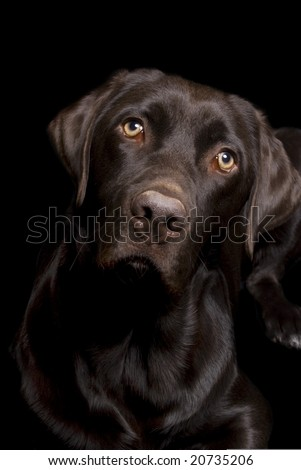 Low key image of a Chocolate Lab on a black background. - stock photo