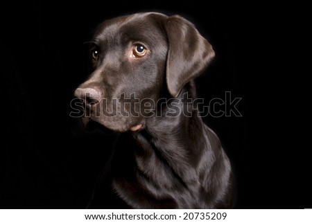 Low key image of a Chocolate Lab on a black background in three quarter profile.