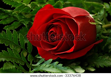 Low key image of dark red rose surrounded by greenery on black background.  Macro with shallow dof. - stock photo
