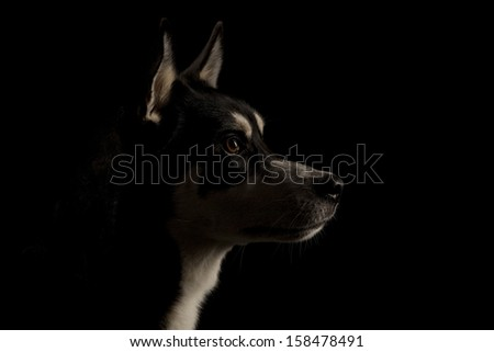 Low Key Portrait Husky - stock photo