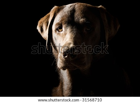Low Key Shot of a Proud Labrador - stock photo