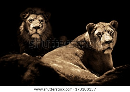 Low key toned image of a male Lion and female Lioness looking out towards the viewer from the darkness.   - stock photo
