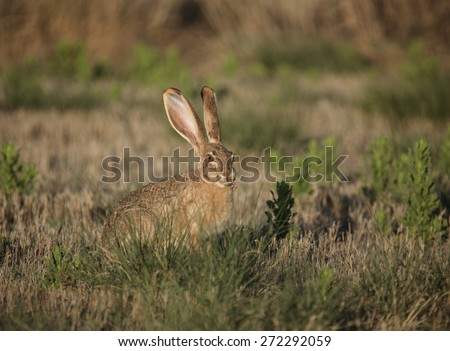Low sunlight on big jackrabbit with wild pink flowers and stalks in mouth/Large American Desert Hare with Pink Wildflowers in Mouth in Prairie Grassland/Jackrabbit with wild blooms of weeds in mouth - stock photo