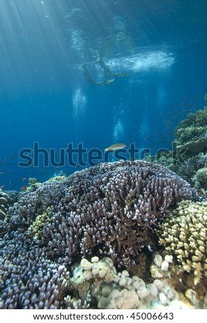 Low wide angle view of snorkelers above pristine coral reef. Jackson Reef, Gulf of Aqaba, Red Sea, Egypt. - stock photo