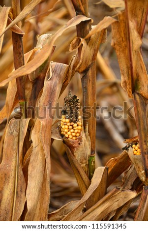 Low yield corn crop due to drought - stock photo