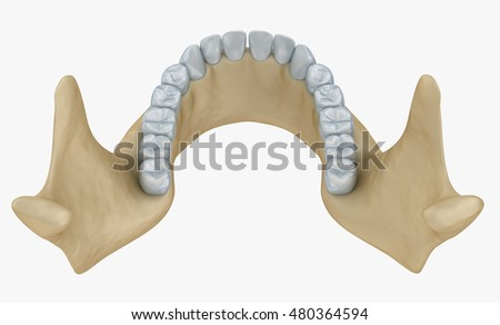 Lower Jaw Skeleton Teeth Anatomy Medical Stock Illustration ...