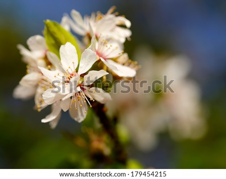lowers of the cherry blossoms on a spring day  - stock photo