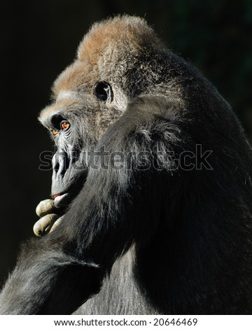 Lowland Gorilla deep in thought - stock photo