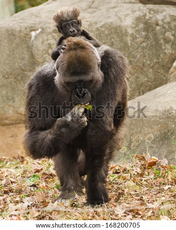 Lowland gorilla mother and infant riding her back - stock photo