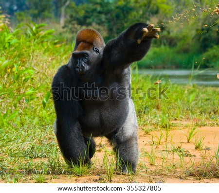 Lowland gorillas in the wild. Republic of the Congo. - stock photo