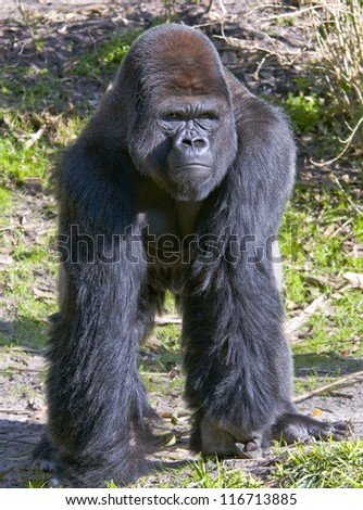 Lowland Silverback Gorilla - stock photo