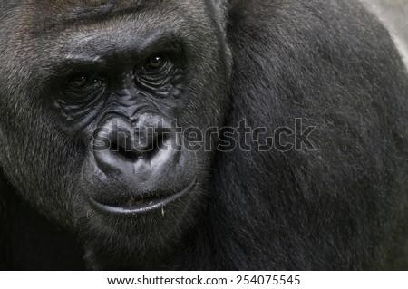 Lowland Silverback gorilla portrait - stock photo