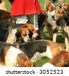 LOYAL AND OBEDIENT FOX HUNTING HOUNDS - stock photo