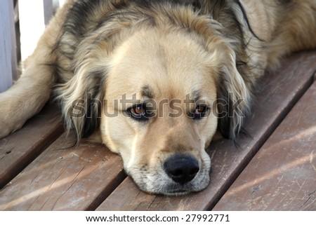 Loyal golden retriever mix dog watching his master - stock photo