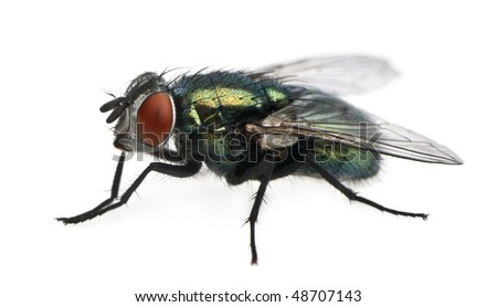 Lucilia caesar, blow-fly, in front of white background - stock photo