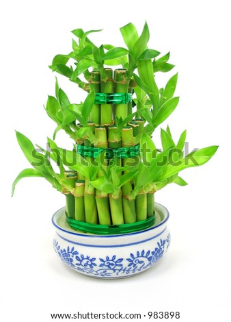 Lucky bamboo (Dracaena sanderiana) in a traditional chinese porcelain pot - stock photo
