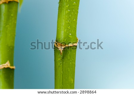 Lucky Bamboo on blue. - stock photo