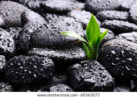 lucky bamboo on the stones - stock photo