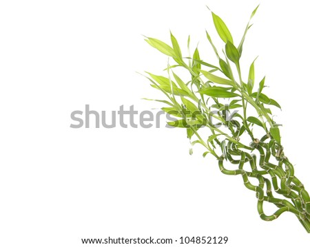 Lucky bamboo plant - stock photo