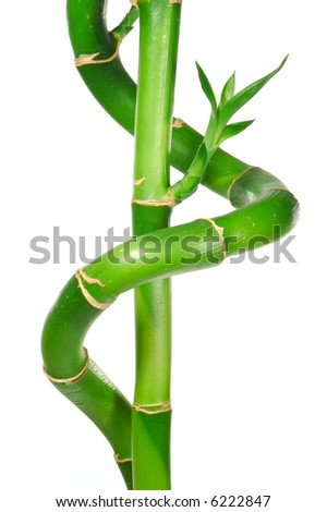 Lucky Bamboo Stem with Leaves. Isolated on White.