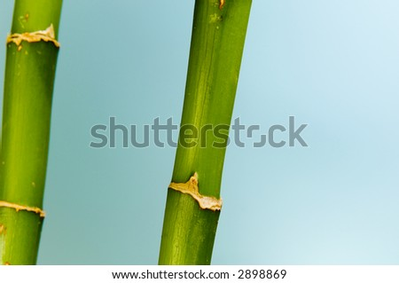 Lucky Bamboo with blue background. - stock photo