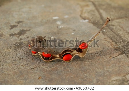 Lucky bean seed pod from a Coral Tree - stock photo