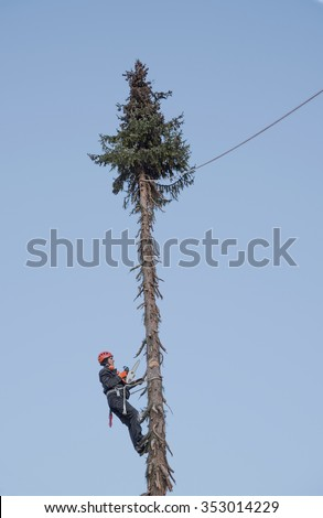 lumberjack hanging high up in the fir tree, cutting a saw kerf for felling - stock photo
