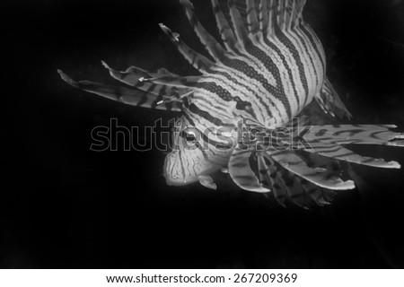 Luna Lionfish-Pterois lunulata, Kanagawa Prefecture/Japan, 2010/10/17.  - stock photo