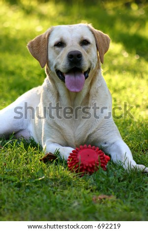 Luna the labrador with her toy - stock photo