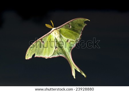 Lunar moth flying on dark background - stock photo
