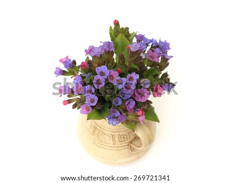 lungwort in a vase on a white background - stock photo