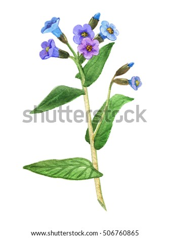 Lungwort medicinal plant on a white background