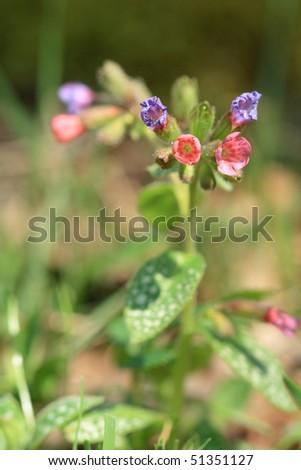 Lungwort  (Pulmonaria officinalis) - stock photo