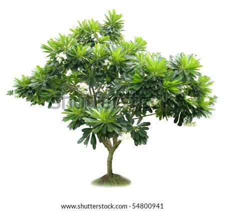 Luntom,Plumeria tree with flowers - stock photo