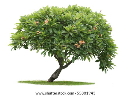 Luntom,Plumeria tree with Orange flowers - stock photo