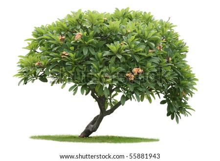 Luntom,Plumeria tree with Orange flowers - stock photo